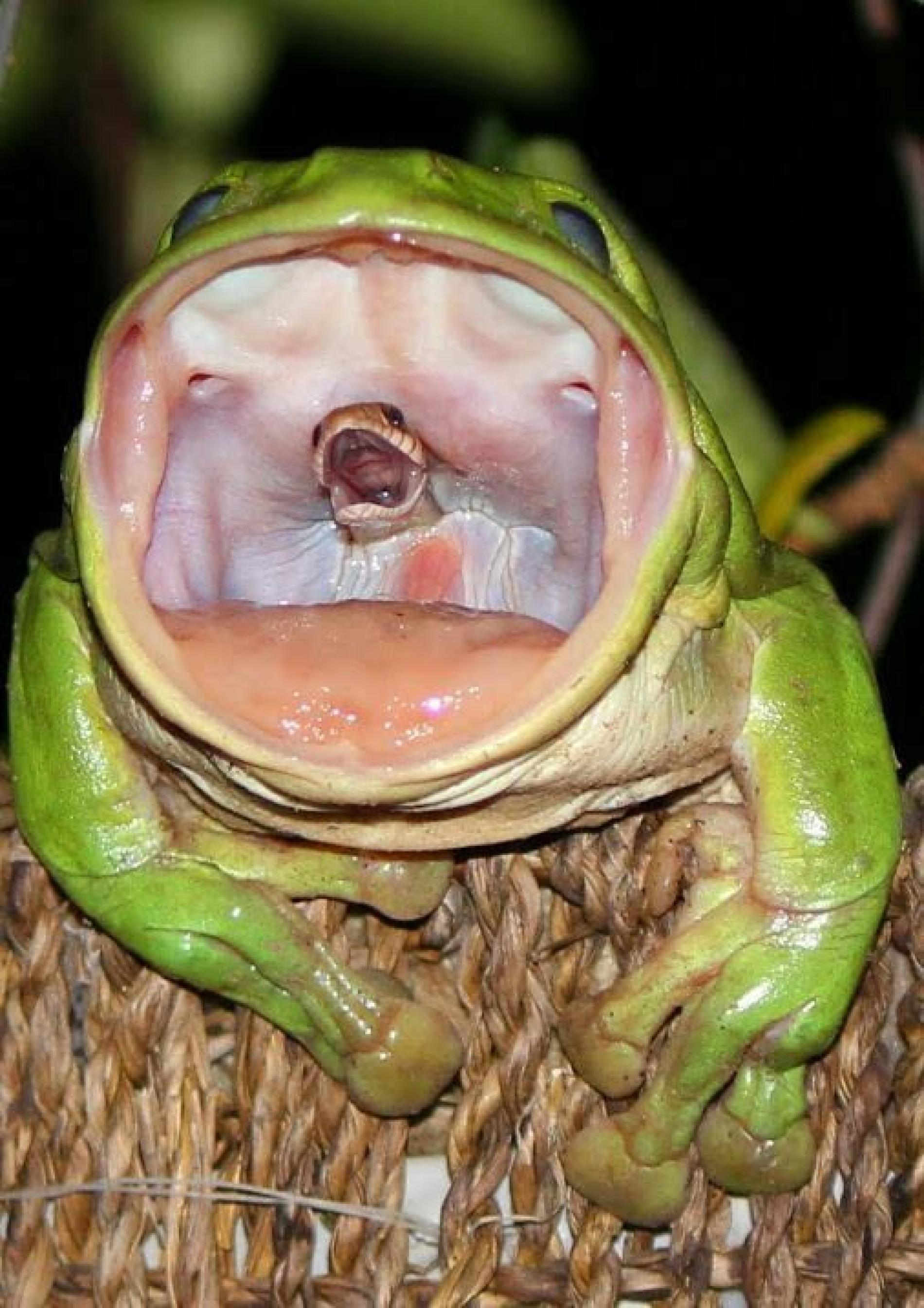 Frog Swallowing Snake